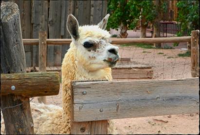 A sassy lama.