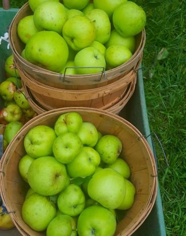 Picked a few baskets of apples this week.