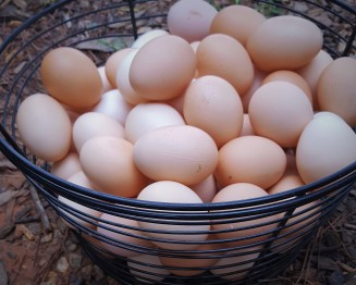 Collecting eggs is one of my favorite things. I love the warm fresh eggs and the subtle colors and shapes.