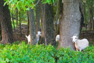 Goats peeking at me...